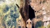 四川绵阳4.6级地震 熊猫扔下竹子瞬间上树 网友:万物有灵