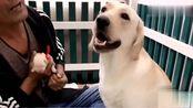 拉布拉多生了八个小狗崽,爷爷假装要拿走一个,狗狗不让