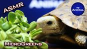 【my Animal】乌龟向日葵微绿色助眠吃的声音动物可爱的乌龟#31(2019年12月22日9时46分)
