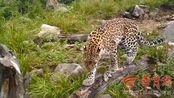 3年来监测样地多点监测到金钱豹活动痕迹,标志着秦岭地区野生动物栖息地质量在不断提升