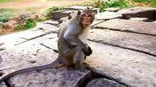 智力有问题的猴妈妈,把孩子当玩具,拖着满地乱跑