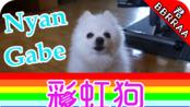 歌神博美Gabe彩虹狗/Nyan Gabe