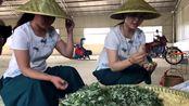 原来艾叶还能做茶叶,今天在河南省叶县常村镇府君庙拍照长了见识