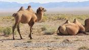 骆驼几周没喝水了,刚看见水一口气喝下120公斤,渴坏了
