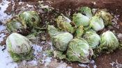 腊月的威海乳山农村,大叔忙着从地里挖白菜,准备过年