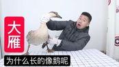 大雁开箱:花175块钱买了一只8斤多重的鸿雁,为什么长的像鹅呢