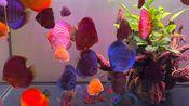 【七彩神仙鱼】新手1m8鱼缸,30条大小不一的家彩