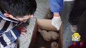 仁哥去养殖场买乳鸽,如何分公母,老板说出了2种方法,可行吗?