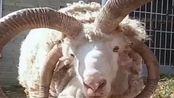 真才实料的羊角奢侈品,也不知道能值多少钱,行家给鉴定一下!