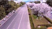 广元师范那边的樱花开了。