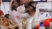 与众不同的贵州猫,跟贵州人一样喜欢吃折耳根护体,难道这鱼腥草真有鱼味吗?