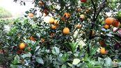 农人生活日常VLOG 米菜兄弟来帮忙采摘脐橙,利用休息时间,教大家怎样用开橙器!