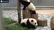 大熊猫在日常生活中是怎么样女里的让自己变得濒危的?