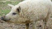 农夫家的猪失踪一个月后,怀着孕回来了,产下的猪崽令人惊讶!