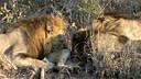 ARATHUSA Matumba males kill Nkuhuma cub.mpg马提巴吃幼狮。