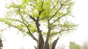济宁这个村有两棵千年白果树