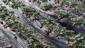 草莓熟了哈,中牟珍珠草莓70一箱,一箱10斤左右,郑州市内免费送货上门,现摘现卖保证新鲜,评论区下单#摘草莓