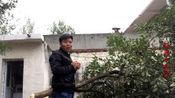 河南南阳:下雨天搞破坏,院子里十几年的果树,辉弟一下给它砍了