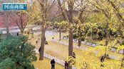 太美了吧!郑州闹市区这条银杏大道只保洁不清扫,快来拍照打卡!