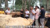 这里是河南最大的活牛交易市场,你知道交易一头牛,需要多少费用
