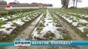 南昌市扬子洲镇:防雨排涝保蔬菜生产