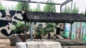 聊城野生动物园内养鸡,游客吐槽:买门票不知道管饭不,好饿啊!