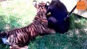 一狼二虎围殴黑猩猩, 看大师兄是怎么应对的, 游刃有余