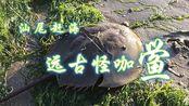 汕尾赶海:汕尾城区人工沙滩遭遇远古怪咖——鲎,最后放归大海
