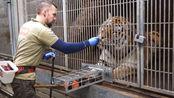 原来给老虎抽血,只需要干这件事情,老虎就可以很乖