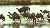 在没有水和食物的沙漠里,骆驼最多可以存活多长时间呢?