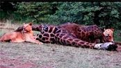 狮子妄想猎杀长颈鹿,随后被两条大长腿给狠狠教训了一顿