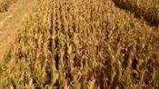 辽宁省玉米籽粒机械直收大面积推广技术条件已成熟