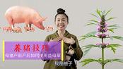 养猪使用益母草,产前产后都特好,省钱赚钱少不了