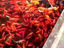 全福寺放生池的金鱼—在线播放—优酷网,视频高清在线观看