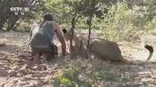 小狮子虽然体积比较庞大!但也要主人的安抚才行!