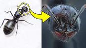 在显微镜下把蚂蚁放大80倍!第一次看清蚂蚁的样子!