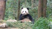 【大熊猫】191202雅安碧峰峡基地 大熊猫禧禧吃窝头