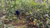 四川资阳安岳,受疫情影响,花都开了柠檬果还挂在树上,看着都心痛