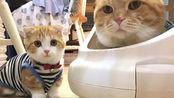 主人带上仿真猫咪玩偶,猫咪见状作何反应?镜头拍下全过程!