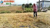 河南南阳:今年小麦多少钱一斤,收麦老乡亲口告诉你。听完你信么