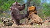 动物世界:黑熊闯入狮子领地,狮子冲上去,一场龙争虎斗开始了