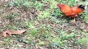 黄鼠狼来给大公鸡拜年了,一看就没安好心,大公鸡立即进入战斗状态!