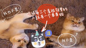 【金渐层Mih&大王】情人节?给你看看单身喵和有女朋友的喵子不一样的猫生吧!