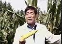 粗粮种植—水果玉米栽培技术-浮米网 www.hfoom.com 转载