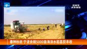 春种秋收 宁波余姚5000亩海涂水稻喜获丰收