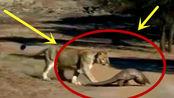狮子遇上穿山甲,刚要张口吃它的时候,当场懵逼了!忍住别笑~