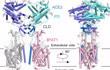 世界首次!西湖大学成功解析新冠病毒细胞受体的空间结构