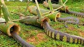 小伙野外制作抓蛇陷阱!结果吓坏小伙,这得多少条啊!