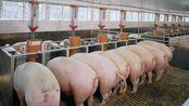 【Mr.tun】沙雕实况;男子因猪肉涨价而对猪痛下杀手!