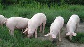 自然资源部最新通知:生猪养殖不需要办理建设用地审批